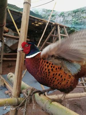 湖南省湘西土家族苗族自治州吉首市七彩山鸡 2-3斤