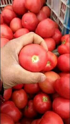 山东省聊城市东昌府区硬粉番茄 次货 弧一以下 硬粉