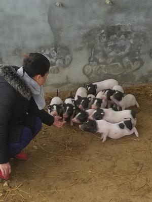 四川省内江市资中县巴马香猪 20斤以下