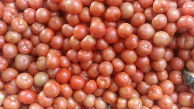 四川省攀枝花市米易县硬粉番茄 精品 硬粉 弧三以上