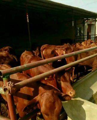 山西省忻州市忻府区肉牛 200-300斤 公牛