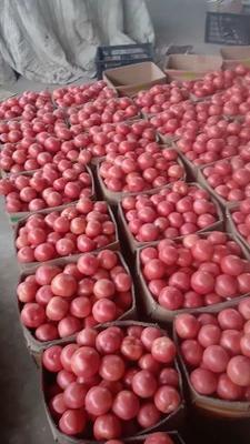 江苏省连云港市东海县硬粉番茄 精品 弧三以上 硬粉