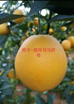 福建省三明市建宁县赣南脐橙 85-90mm 4-8两
