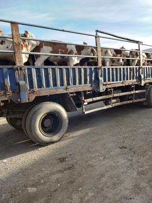 河北省张家口市张北县西门塔尔牛 400-600斤 公牛