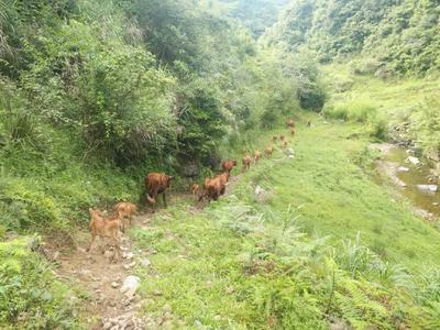 贵州省黔南布依族苗族自治州都匀市原生态黄牛 200-300斤 统货