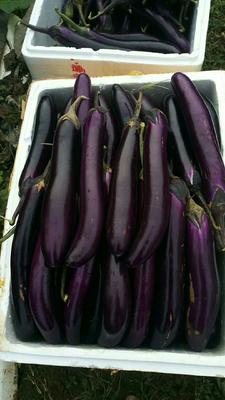 广西壮族自治区南宁市横县紫长茄 40cm以上 长茄