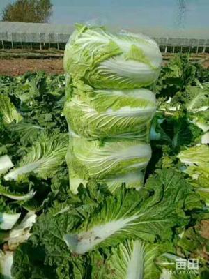 这是一张关于夏邑大白菜 3~6斤 净菜的产品图片