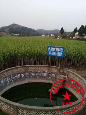 四川省资阳市乐至县川蔗 4 - 5cm 2.5 - 3m