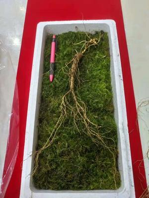 这是一张关于林下参人参 鲜参 整根 盒装的产品图片