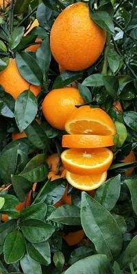 广西壮族自治区贺州市富川瑶族自治县纽荷尔脐橙 60 - 65mm 4-8两