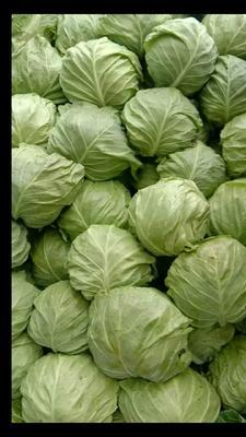 这是一张关于绿甘蓝 1.5~2.0斤的产品图片