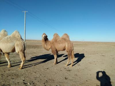 内蒙古自治区乌兰察布市四子王旗双峰驼