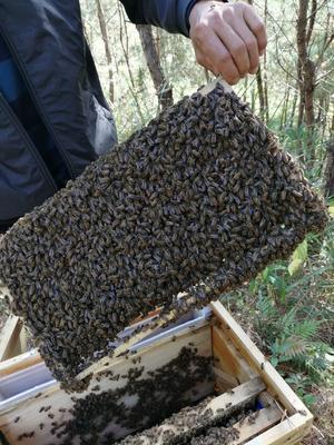 福建省三明市大田县中华蜜蜂  蜂好蜂旺!欲购从速!