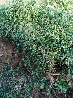 这是一张关于麦冬种子的产品图片
