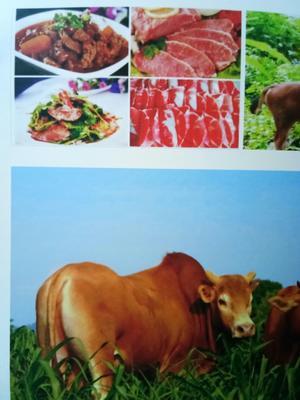 湖南省长沙市岳麓区湘西黄牛 600-800斤 公牛