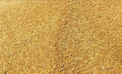 河南省周口市扶沟县混合小麦