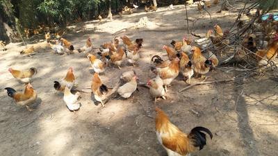 这是一张关于古典鸡 2-3斤 母的产品图片