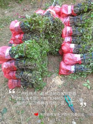 广西壮族自治区桂林市平乐县同安红三角梅 0.5~1.0米