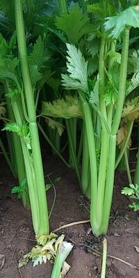 河南省周口市商水县法国皇后芹菜 60cm以上 0.5~1.0斤 大棚种植