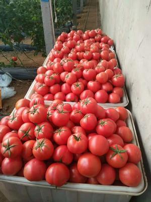 山东省临沂市费县硬粉番茄 精品 弧三以上 硬粉
