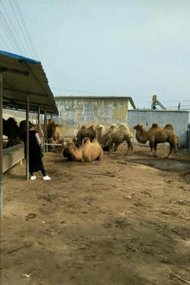 山东省济宁市嘉祥县双峰驼  照相骆驼 乘骑骆驼