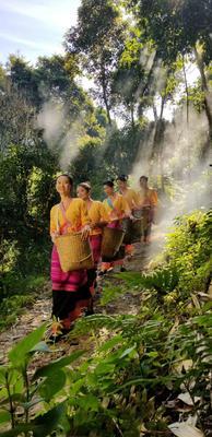 云南省西双版纳傣族自治州景洪市大叶古树普洱茶 三级 散装