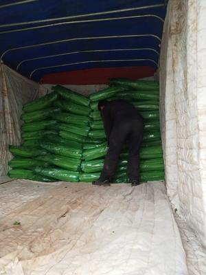 山东省临沂市沂南县西芹 60cm以上 大棚种植 0.5~1.0斤