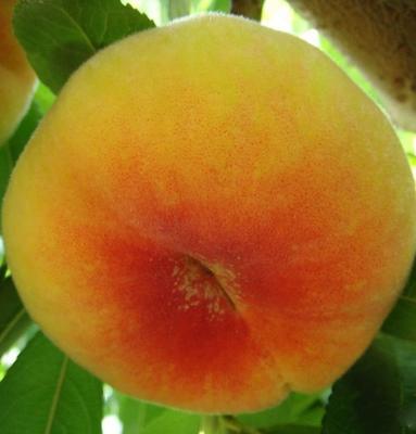 黄金蟠桃树苗 1~1.5米