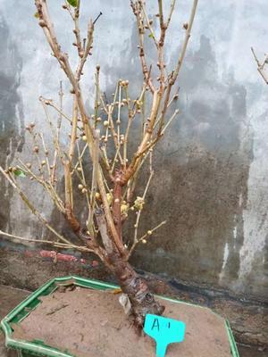 贵州省安顺市普定县素心腊梅 0.5~1米