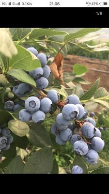 河南省平顶山市鲁山县蓝丰蓝莓 鲜果 15mm以上