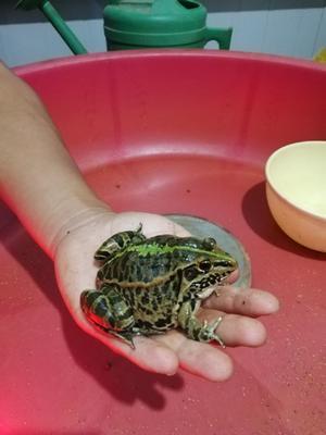 这是一张关于青蛙苗的产品图片