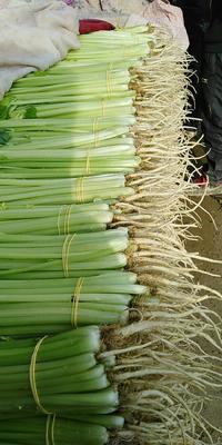 安徽省蚌埠市怀远县香芹 40~45cm 0.5斤以下 大棚种植