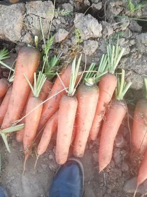 河南省周口市太康县日本红星胡萝卜 15cm以上
