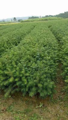 广西壮族自治区柳州市融安县杉木树苗