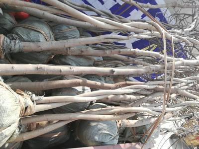 山东省临沂市兰山区多花紫藤 3米以上 4~5公分