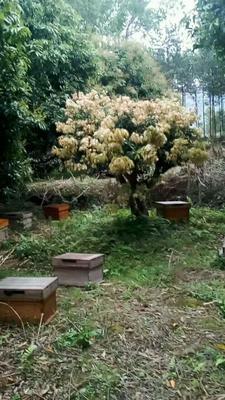 广西壮族自治区钦州市浦北县中华蜜蜂