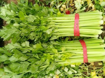 河南省商丘市夏邑县西芹 60cm以上 大棚种植 0.5~1.0斤