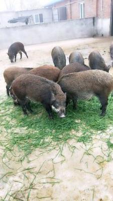 安徽省淮南市潘集区特种野猪 统货 140斤以上