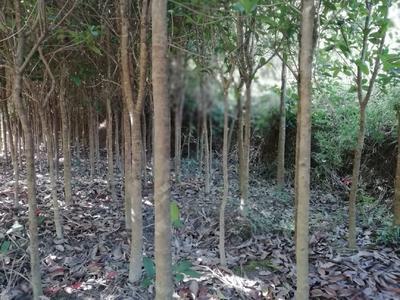 广西壮族自治区桂林市资源县八月桂
