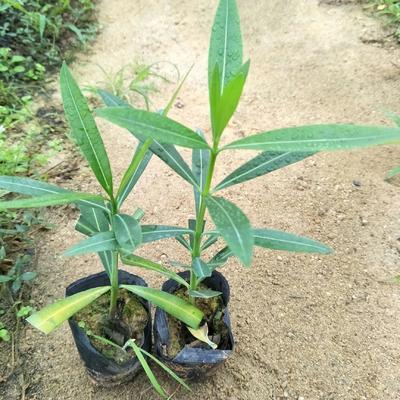 广东省广州市荔湾区夹竹桃 0.2米以下 2公分以下 2公分以下