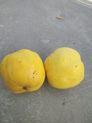 湖北省随州市曾都区香木瓜 2 - 2.5斤