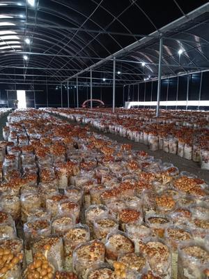 这是一张关于滑子菇 人工种植 鲜货的产品图片