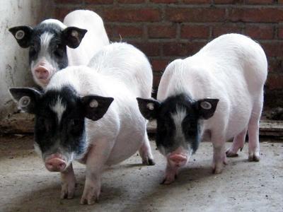 贵州省遵义市遵义县巴马香猪 60斤以上