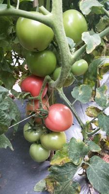 云南省昆明市五华区硬粉番茄 精品 弧二以上 硬粉