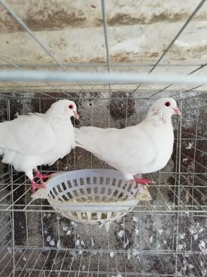 这是一张关于白羽王鸽 400-500克的产品图片
