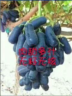 江西省抚州市资溪县葡萄种子  易种植。产量高。