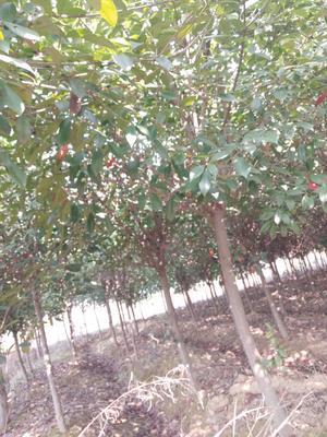 安徽省合肥市肥西县高杆红叶石楠