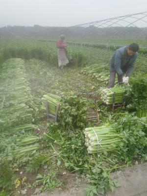 四川省遂宁市船山区西芹 40~45cm 1.5~2.0斤 露天种植