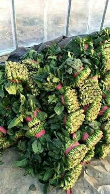 这是一张关于大叶菠菜 20~25cm的产品图片