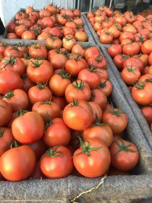 山东省聊城市莘县硬粉番茄 通货 弧三以上 硬粉
